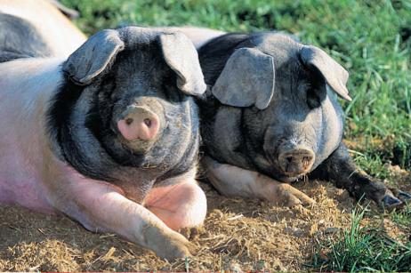 Schweine auf grüner Wiese